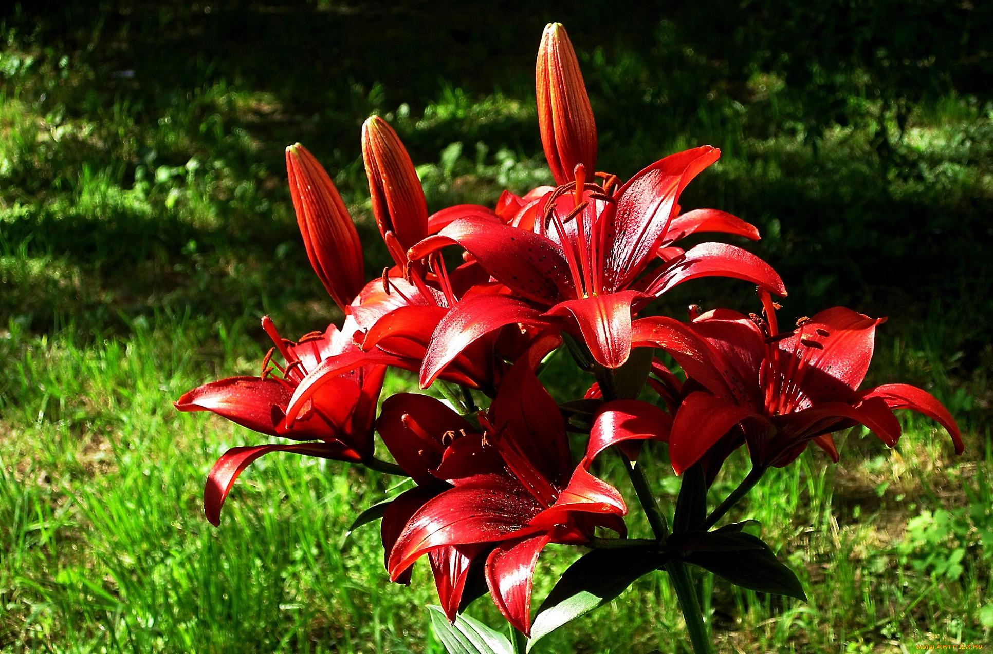 чисто, фото цветов лилии разных видов современной науки